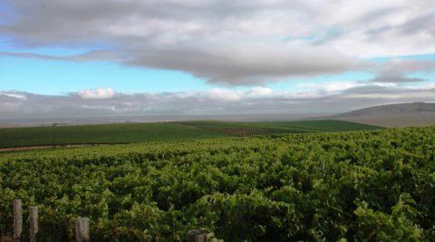 Darling vineyard vista 1